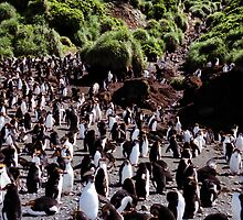 Royal Penguin Highway by Carole-Anne