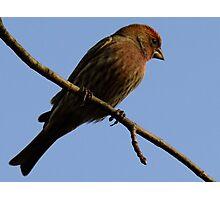 Purple Finch-  Male Photographic Print