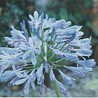 Blue flower  by suewen