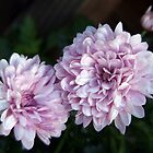 lavender chrysanthemums by Linda  Makiej