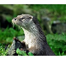 Male Otter Photographic Print