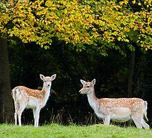 Fallow Deer.. by Lauren Tucker
