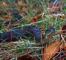 Northern Water Snake by Nazareth