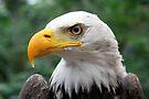 Portrait of A Bald Eagle by Jo Nijenhuis