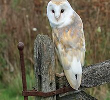Barn Owl - iPhone Case by Mark Hughes