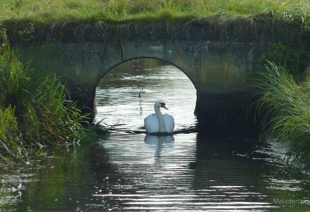 Serene Swan by Meladana