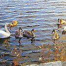 The Swan Family Of Inch Island by Fara
