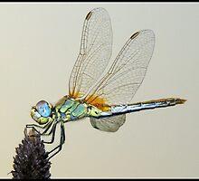 Dragonfly by jonshock