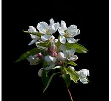 Crabapple Blossom Photographic Print
