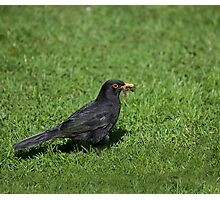 Blackbird with worms Photographic Print