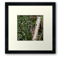 Starling plumage Framed Print
