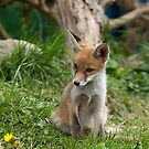Fox Cub watching by Sue Robinson