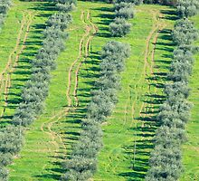 Olive grove patterns, Lago Trasimeno, Umbria by Andrew Jones