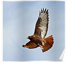102012 Dark Morphed Red Tailed Hawk Poster