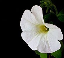 White Petunia on Black by Ellesscee