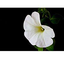 White Petunia on Black Photographic Print