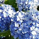 Blue Hydrangeas by PhosGraphe