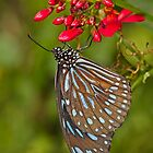 Dark Blue Tiger on red blooms by Bryan  Keil