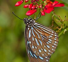 Dark Blue Tiger on red blooms by Bryan  Keil