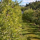Down the Rows of an Orchard by PhosGraphe
