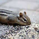 Hungry Chipmunk  by CAPhotography