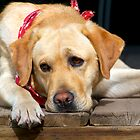 Golden Labrador by Mark Iocchelli