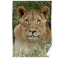 IF LOOKS COULD KILL - THE LION – Panthera leo Poster