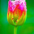 PopArt Tulip by Heike Richter