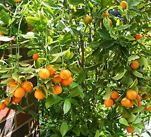 Cumquat crop by Maggie Hegarty