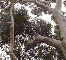 White Galah In A Huge White Gum Tree by Robert Phillips