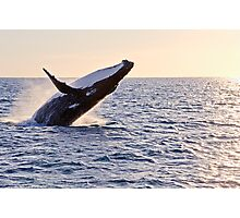 Humpback Whale Breaching off Hervey Bay as the sun starts to set Photographic Print