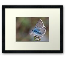 Eastern Baton Blue butterfly  Framed Print
