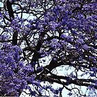 Jacaranda Tree. by CeciliaMay