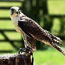 Gyr x Saker Falcon by Colin Shepherd