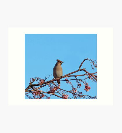 Bohemian Waxwing on Rowan Art Print