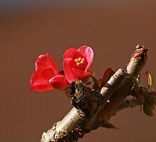 Chaenomeles flower by Sue Robinson