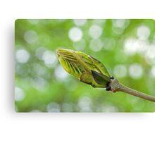 Leaf Bud in Spring Canvas Print