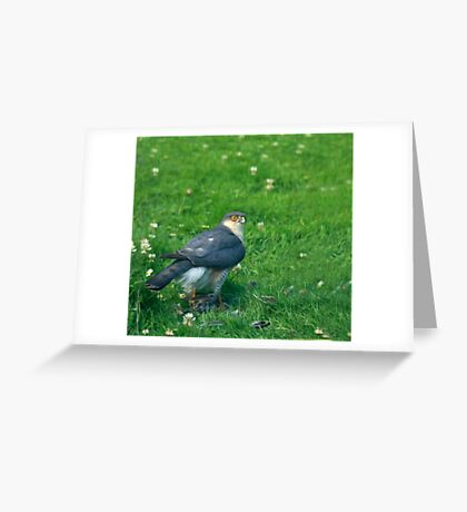 Sparrowhawk male with feathers Greeting Card