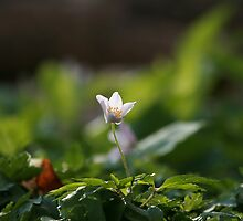 Wind Flower or Wood Anemone by Sue Robinson