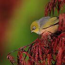 Silvereye and the rising Sun by Donovan wilson