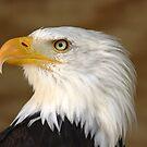 Bald Eagle by Colin Shepherd