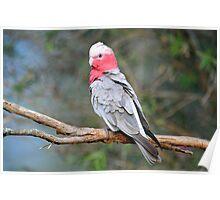 Female Galah. Cedar Creek, Queensland, Australia.  Poster