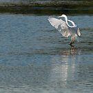 Gentle landing, egret, Lago Trasimeno, Umbria by Andrew Jones