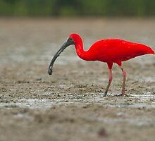 Scarlet Ibis by Faraaz Abdool