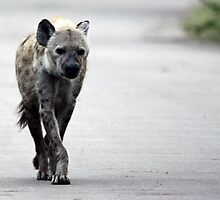 Spotted Hyaena on road by Edward Middleton