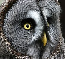 Great Grey Owl by Colin Shepherd