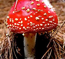 Amanita muscaria by Randle