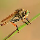 Robber fly by udadennie