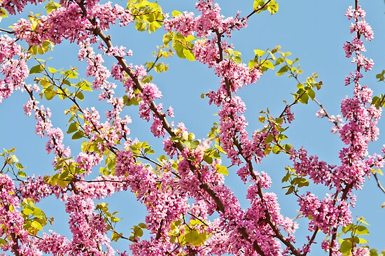 Judas Tree Flower And Leaves by Kuzeytac