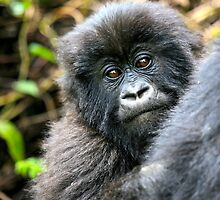 Baby Mountain Gorilla by Sheila Smith